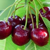 blog_may_cherries