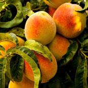 blog_may_peaches