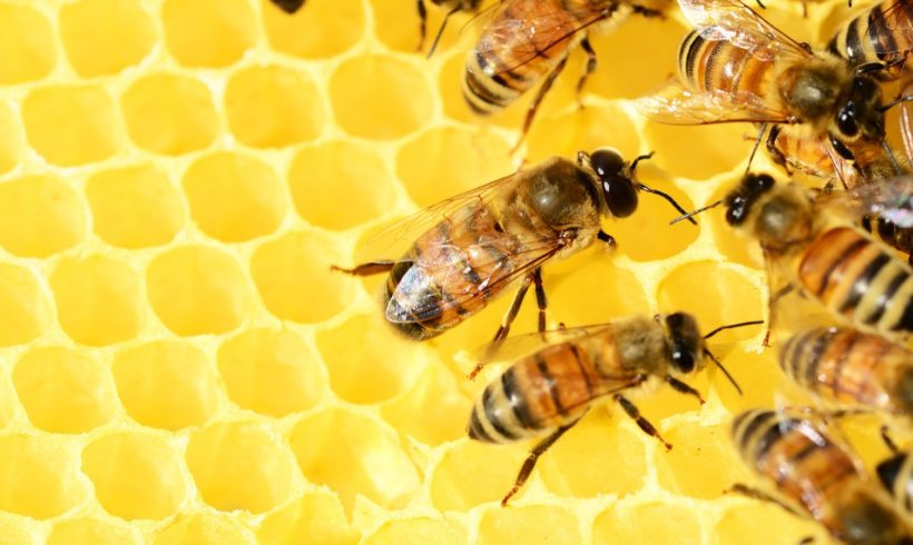 Bee Propolis – Your Immune Protector